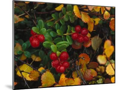 Lowbush Cranberries in the Yukon, Canada-Nick Norman-Mounted Photographic Print