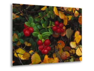 Lowbush Cranberries in the Yukon, Canada-Nick Norman-Metal Print