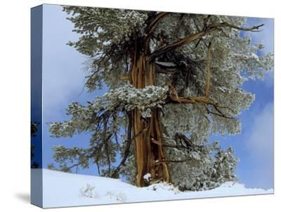 Bristlecone Pine Tree Blanketed in Snow, California-Tim Laman-Stretched Canvas Print