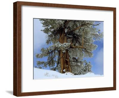 Bristlecone Pine Tree Blanketed in Snow, California-Tim Laman-Framed Photographic Print