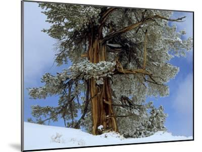 Bristlecone Pine Tree Blanketed in Snow, California-Tim Laman-Mounted Photographic Print