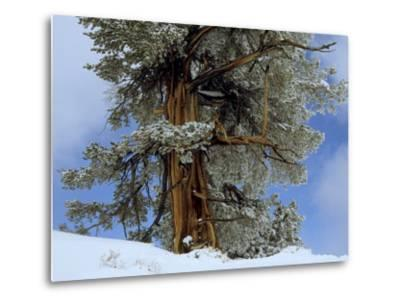 Bristlecone Pine Tree Blanketed in Snow, California-Tim Laman-Metal Print