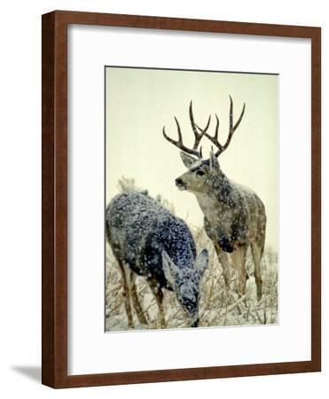 Mule Deer Buck Watches over His Doe, Yellowstone National Park, Wyoming-Michael S^ Quinton-Framed Photographic Print