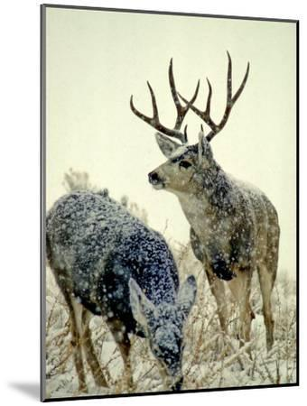 Mule Deer Buck Watches over His Doe, Yellowstone National Park, Wyoming-Michael S^ Quinton-Mounted Photographic Print