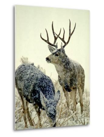 Mule Deer Buck Watches over His Doe, Yellowstone National Park, Wyoming-Michael S^ Quinton-Metal Print