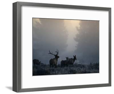 Cold Morning Mist and Rutting Elk Move Through the Sagebrush Meadow-Michael S^ Quinton-Framed Photographic Print