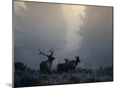 Cold Morning Mist and Rutting Elk Move Through the Sagebrush Meadow-Michael S^ Quinton-Mounted Photographic Print