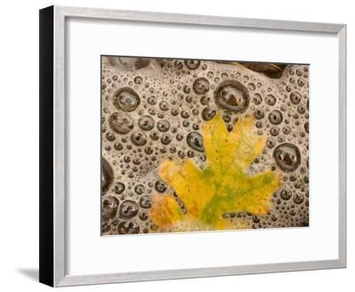 California Black Oak Leaf in a Stream in Autumn, Stanislaus National Forest Reserve, California-Phil Schermeister-Framed Photographic Print