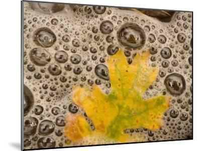 California Black Oak Leaf in a Stream in Autumn, Stanislaus National Forest Reserve, California-Phil Schermeister-Mounted Photographic Print