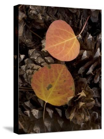 Aspen Leaves on Pine Cones in the Fall, Stanislaus National Forest Reserve, California-Phil Schermeister-Stretched Canvas Print