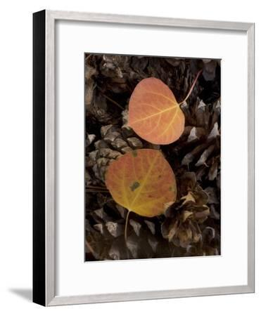Aspen Leaves on Pine Cones in the Fall, Stanislaus National Forest Reserve, California-Phil Schermeister-Framed Photographic Print