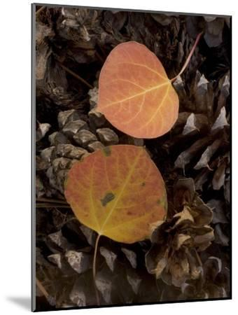 Aspen Leaves on Pine Cones in the Fall, Stanislaus National Forest Reserve, California-Phil Schermeister-Mounted Photographic Print