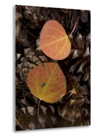 Aspen Leaves on Pine Cones in the Fall, Stanislaus National Forest Reserve, California-Phil Schermeister-Metal Print