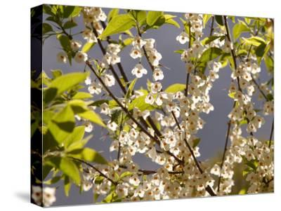 Mountain Silverbell Flowers, Jamaica Plain, Massachusetts USA-Darlyne A^ Murawski-Stretched Canvas Print