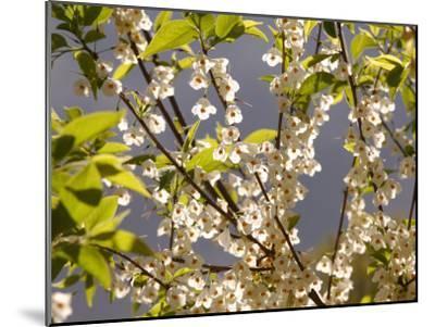 Mountain Silverbell Flowers, Jamaica Plain, Massachusetts USA-Darlyne A^ Murawski-Mounted Photographic Print