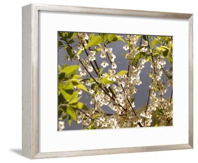 Mountain Silverbell Flowers, Jamaica Plain, Massachusetts USA-Darlyne A^ Murawski-Framed Photographic Print