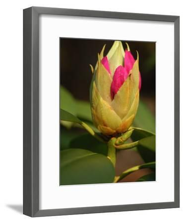 Rhododendron Buds About to Bloom, Belmont, Massachusetts-Darlyne A^ Murawski-Framed Photographic Print