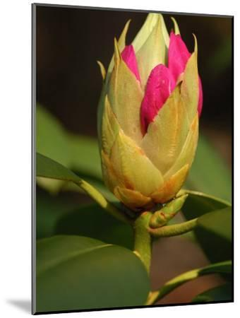 Rhododendron Buds About to Bloom, Belmont, Massachusetts-Darlyne A^ Murawski-Mounted Photographic Print