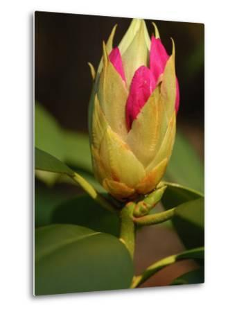 Rhododendron Buds About to Bloom, Belmont, Massachusetts-Darlyne A^ Murawski-Metal Print