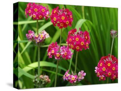 Cluster of Candelabra Primula Flower Stalks-Darlyne A^ Murawski-Stretched Canvas Print