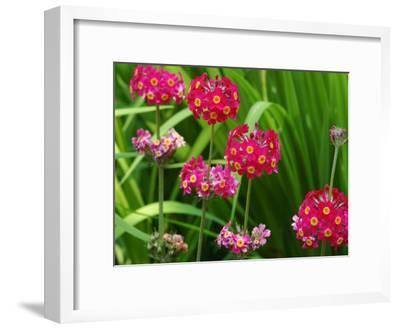 Cluster of Candelabra Primula Flower Stalks-Darlyne A^ Murawski-Framed Photographic Print