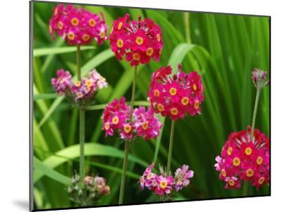 Cluster of Candelabra Primula Flower Stalks-Darlyne A^ Murawski-Mounted Photographic Print