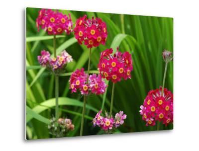 Cluster of Candelabra Primula Flower Stalks-Darlyne A^ Murawski-Metal Print