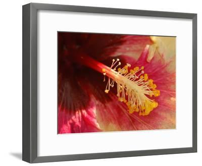 Close-Up of the Center of a Cultivated Hibiscus Flower, Belmont, Massachusetts, USA-Darlyne A^ Murawski-Framed Photographic Print