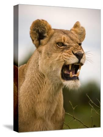 Portrait of a Snarling Aggressive Lioness, Duba Plains, Okavango Delta, Botswana-Beverly Joubert-Stretched Canvas Print