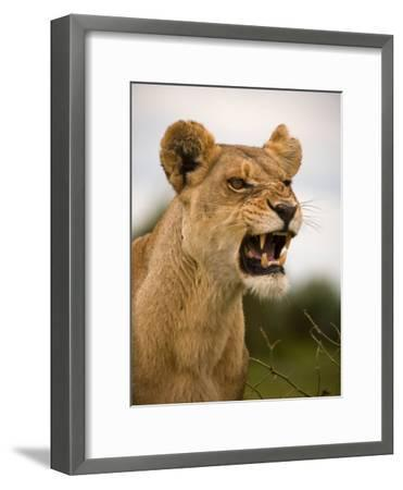 Portrait of a Snarling Aggressive Lioness, Duba Plains, Okavango Delta, Botswana-Beverly Joubert-Framed Photographic Print