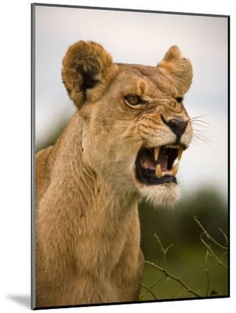 Portrait of a Snarling Aggressive Lioness, Duba Plains, Okavango Delta, Botswana-Beverly Joubert-Mounted Photographic Print