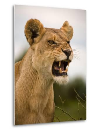 Portrait of a Snarling Aggressive Lioness, Duba Plains, Okavango Delta, Botswana-Beverly Joubert-Metal Print