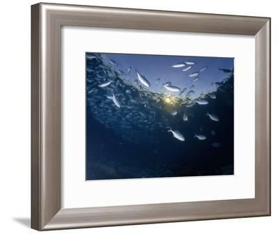 School of Bigeye Trevally with Setting Sun Shining Through Water, Sulawesi, Indonesia-Paul Sutherland-Framed Photographic Print