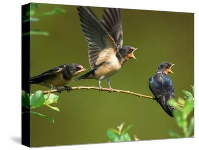 Three Barn Swallow Fledglings Begging for a Meal, Arlington, Massachusetts, USA-Darlyne A^ Murawski-Stretched Canvas Print