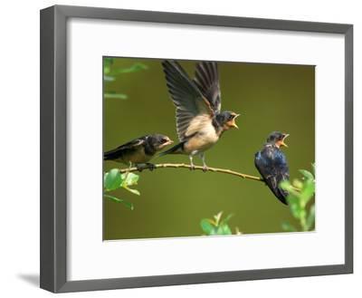 Three Barn Swallow Fledglings Begging for a Meal, Arlington, Massachusetts, USA-Darlyne A^ Murawski-Framed Photographic Print