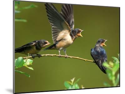 Three Barn Swallow Fledglings Begging for a Meal, Arlington, Massachusetts, USA-Darlyne A^ Murawski-Mounted Photographic Print