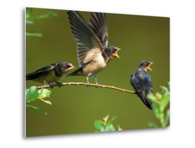 Three Barn Swallow Fledglings Begging for a Meal, Arlington, Massachusetts, USA-Darlyne A^ Murawski-Metal Print