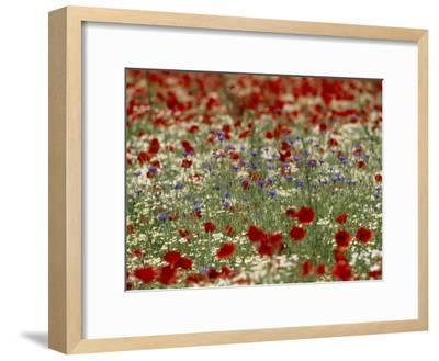Bachelor Buttons, Poppies, and Other Flowers in Bloom-Norbert Rosing-Framed Photographic Print