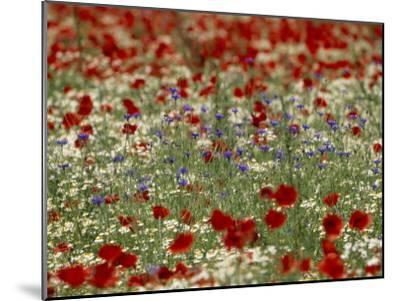 Bachelor Buttons, Poppies, and Other Flowers in Bloom-Norbert Rosing-Mounted Photographic Print