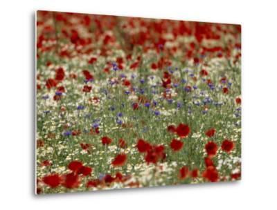 Bachelor Buttons, Poppies, and Other Flowers in Bloom-Norbert Rosing-Metal Print