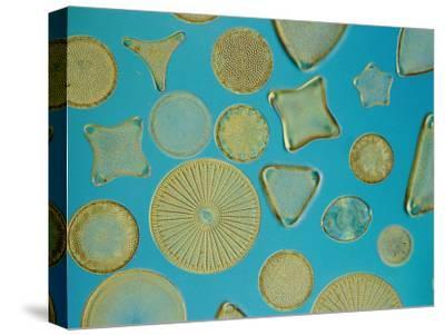 Close View of Diatoms, USA-Darlyne A^ Murawski-Stretched Canvas Print