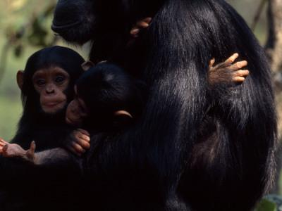 Twins, Extremely Rare in Chimpanzees, with their Mother, Gombe Stream National Park, Tanzania-Michael Nichols-Framed Photographic Print
