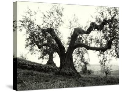 Large Olive Tree in the Tuscan Hills-Vincenzo Balocchi-Stretched Canvas Print