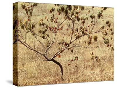Peach Tree with Fruit-Vincenzo Balocchi-Stretched Canvas Print