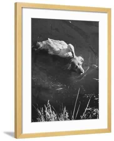 Donald, the Dog-Loving Duck, Hates Water But Takes a Ride on the Back of His Swimming Pal Rusty-Loomis Dean-Framed Photographic Print