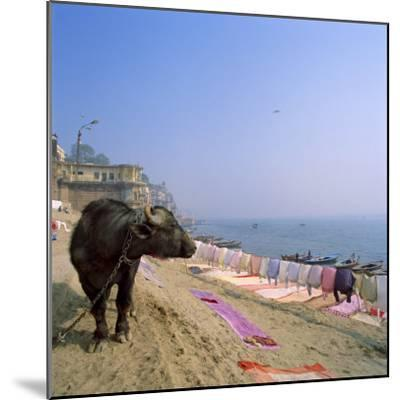 Water Buffalo and Drying Washing on the Banks of the Ganges, Varanasi, Uttar Pradesh State, India-Tony Gervis-Mounted Photographic Print