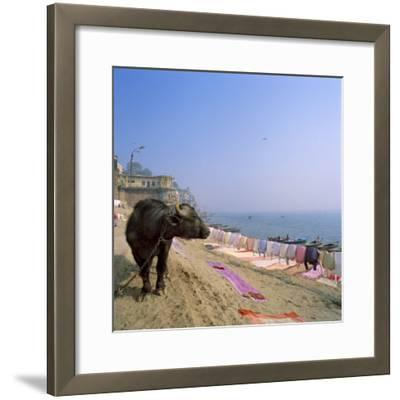 Water Buffalo and Drying Washing on the Banks of the Ganges, Varanasi, Uttar Pradesh State, India-Tony Gervis-Framed Photographic Print