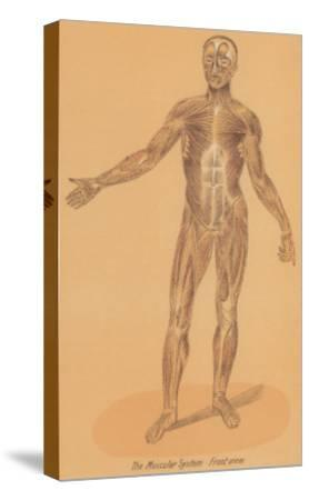 Anterior View of Human Musculature--Stretched Canvas Print