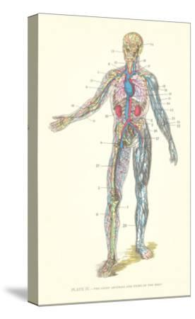 Circulatory System--Stretched Canvas Print