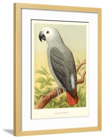 African Grey Parrot--Framed Art Print